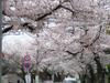 2007sakura1