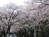 Sakura20060409_1