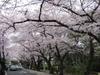 Sakura20060409_2